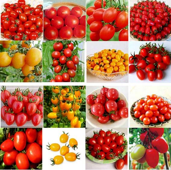 O tomate é uma fruta porque tem características biológicas de crescimento e desenvolvimento semelhante às frutas, mas as suas características nutricionais são mais próximas dos legumes