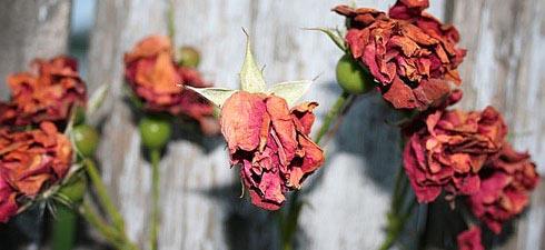 CPI vai fazer rosas murcharem