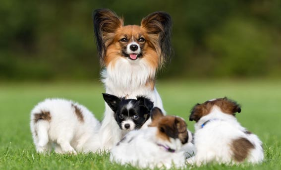 angela-eight-top-facts-about-the-papillon-dog-x