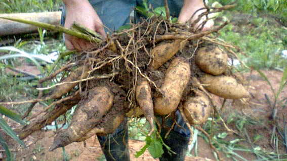 batata-yacon-2